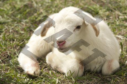 Goat Watermark Image PHP Imagick